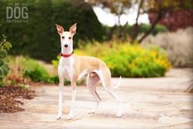 Professional Dog Potraits of Whippet