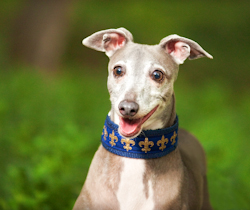 Portrait of Italian Greyhound Smiling in the Park by the Dog Photographer