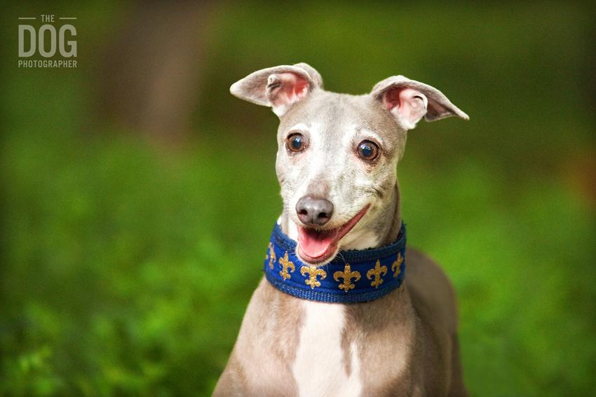 italian greyhound smiling - photo #13
