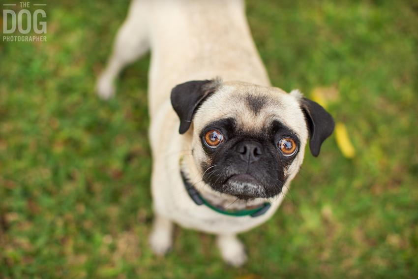 Pug Photos